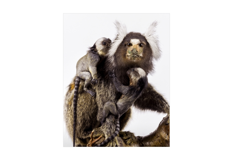 Taxidermy Cotton-eared Monkeys