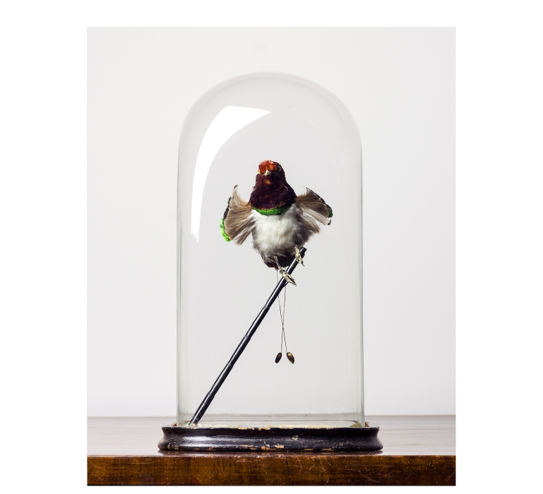 Taxidermy A perfectly presented King Bird of Paradise