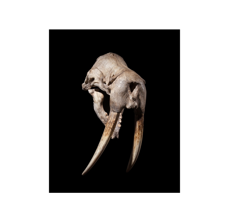 Taxidermy 19th Century Walrus Skull